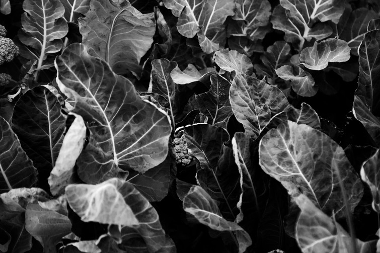 Black and white photograph of growing vegetables