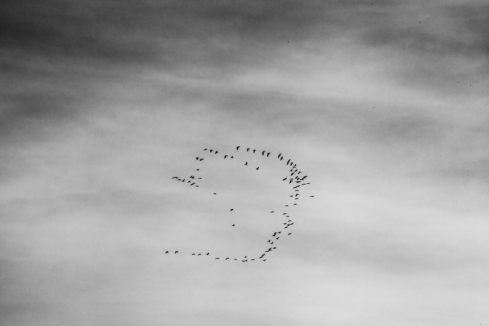 A black and white photograph of a flock of birds