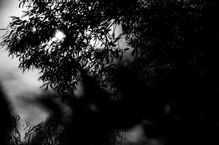 Black and white photograph of a setting sun through gum tree leaves