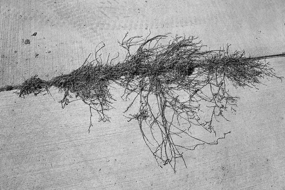 A black and white photograph of vines growing through the control joints of a path. Taken by Megan Kennedy