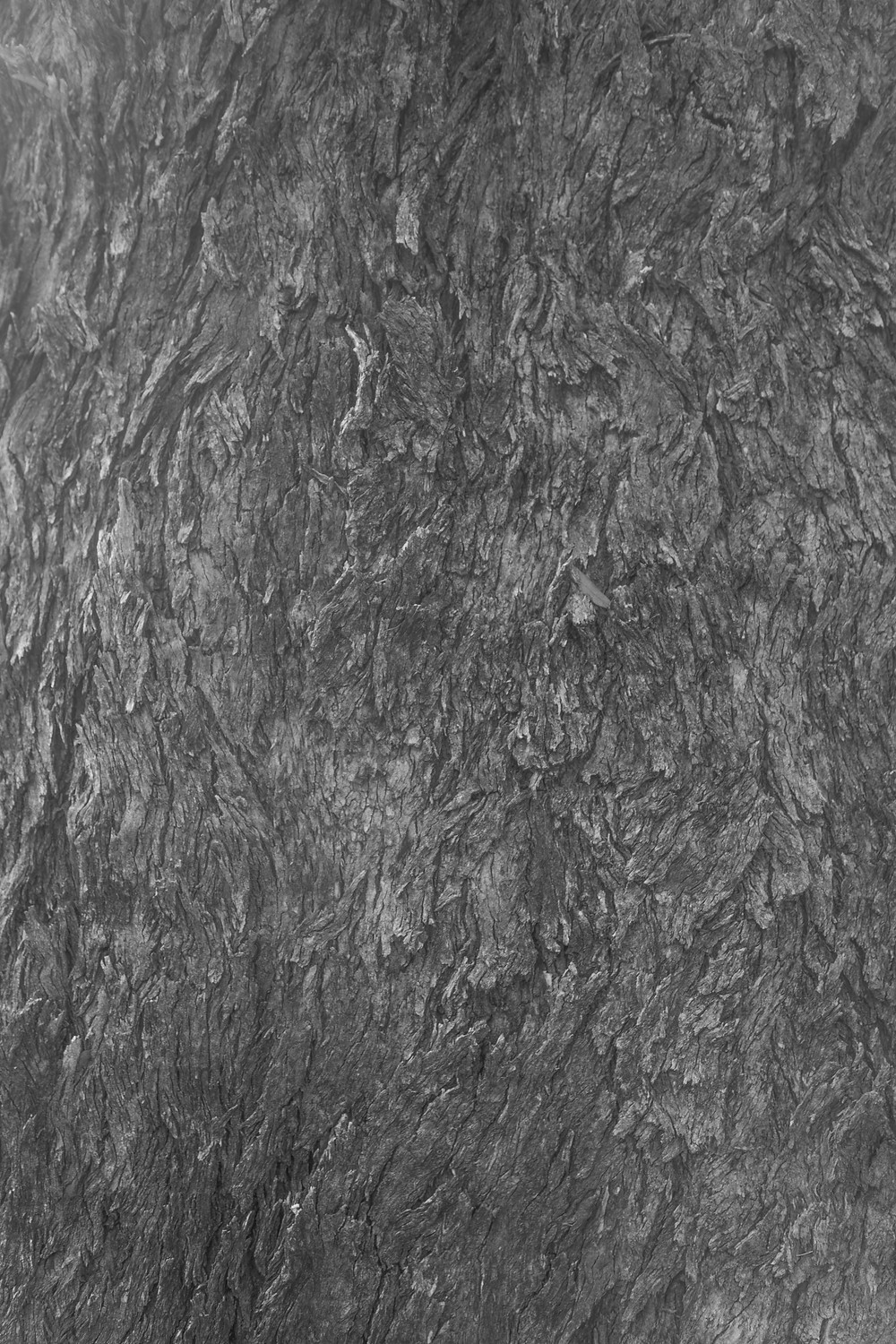 A black and white photograph of a Yellow Box gum tree in Canberra, Australia. Photograph taken by Megan Kennedy.