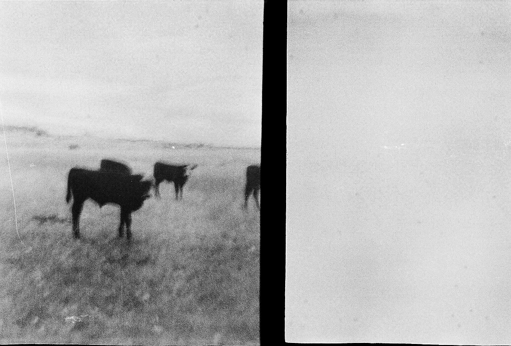 cows photographed with 35mm film camera square format black and white