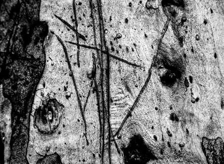 Tree Study - Mulligans Flat Woodland Sanctuary