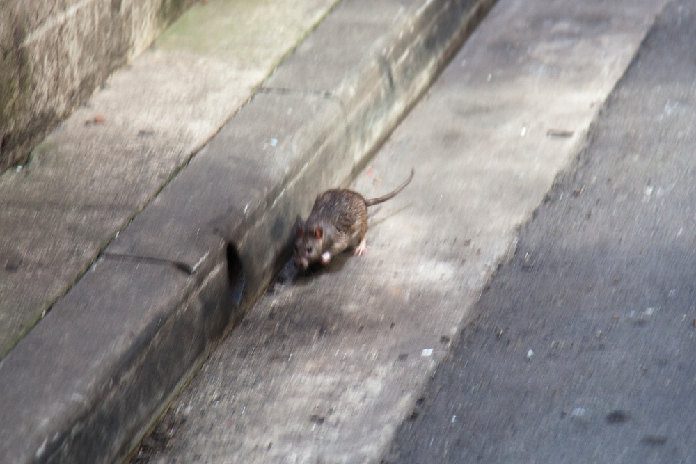 a cute little brown rat running in an urban setting