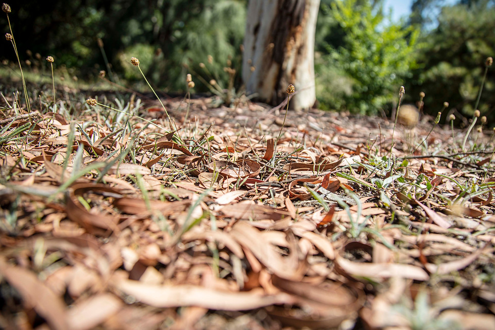 Fallen leaves from a Red Spotted Gum tree (Eucalyptus mannifera) to harvest for eco printing fabric