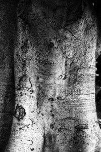 hills weeping fig tree graffiti black and white photograph