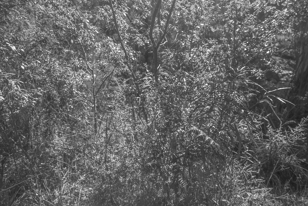 A black and white photograph of Australian native plants in Tidbinbilla Nature Reserve. Photographed by Megan Kennedy.