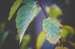 Autumn Leaves, Clarenville