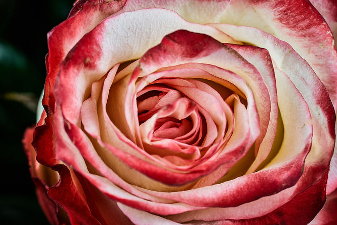 red and white rose on black background m