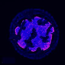 Organoids, biocompatible cell scaffold
