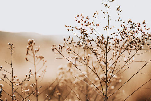 cotton%20plant%20on%20sephia%20photo_edi