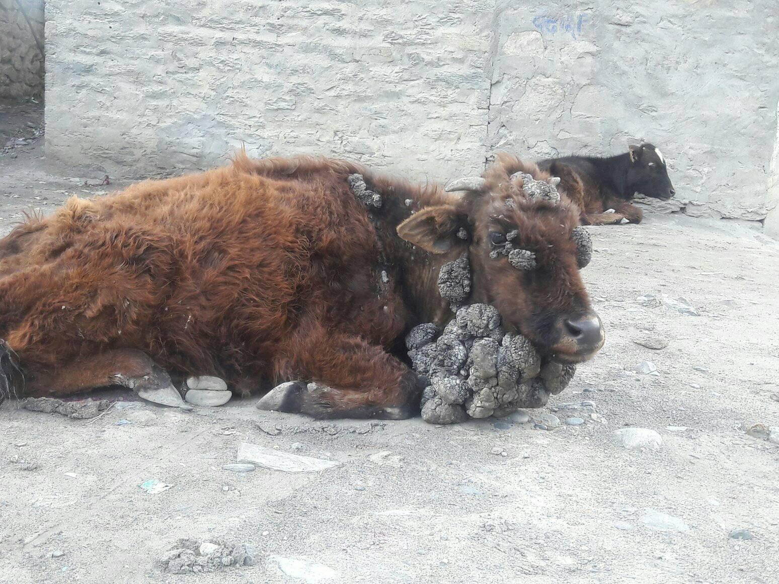 Cow in Jomsom