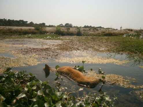 Dog poisoned by Strychnine in Sauraha. Photo courtesy: HART
