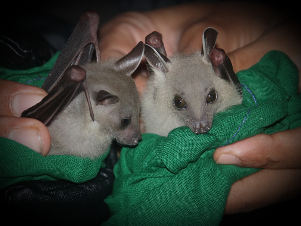A pair of juvenile greater short-nosed fruit bats (Cynopterous sphinx). These fruit bats can often be found roosting in fruit trees.
