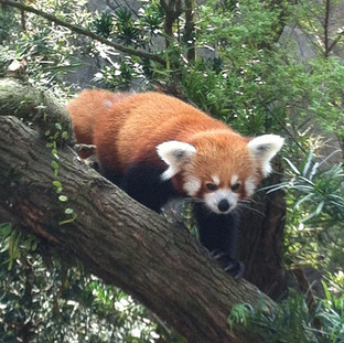 Red panda are native to the Himalaya