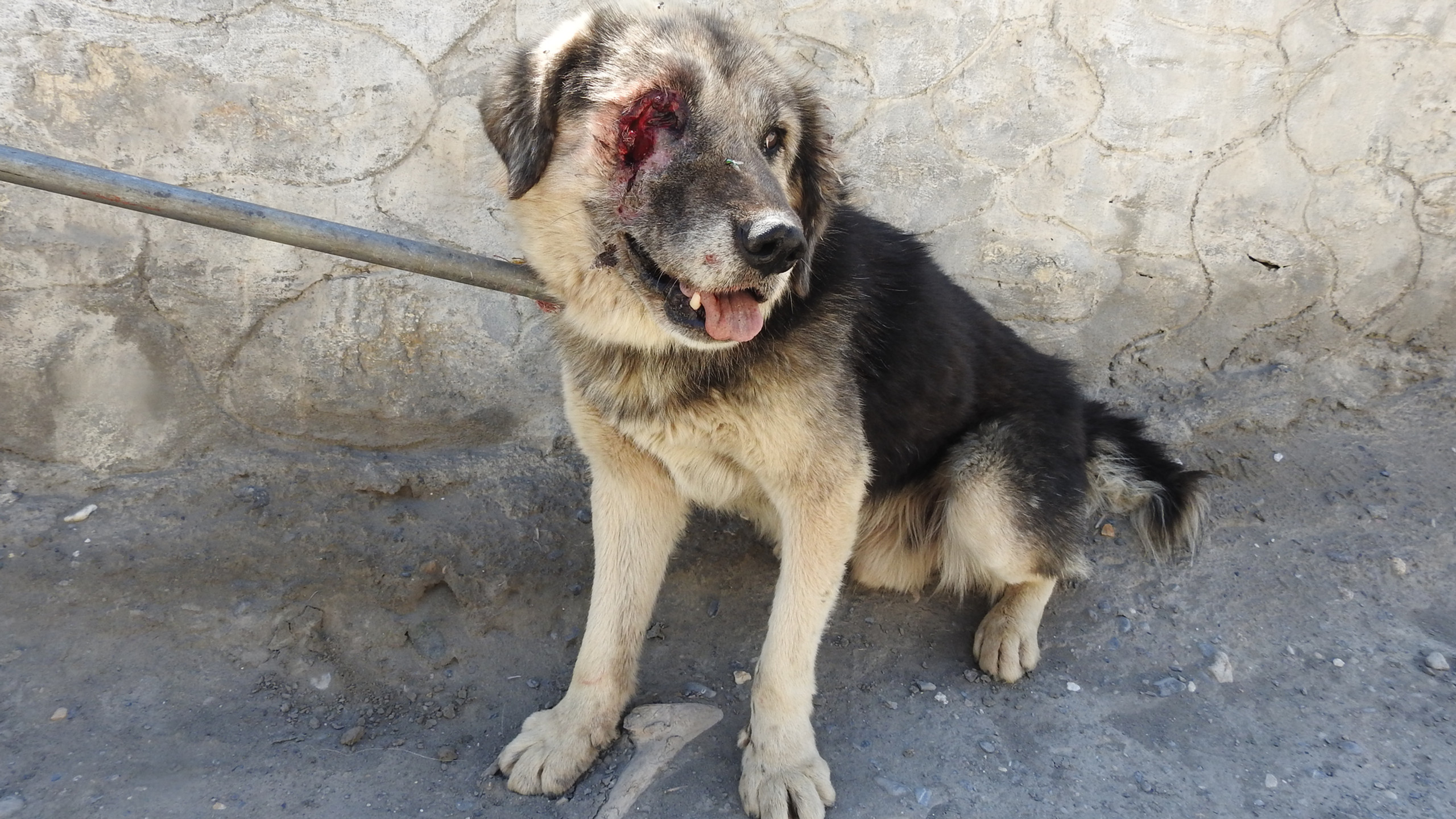 Dog with eye and ear injury