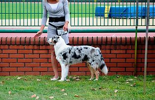Matylda Redagor owczarek australijski