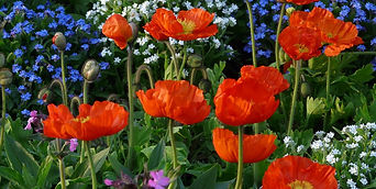 poppies-orange-flowers-garden-design_118