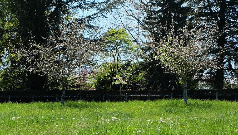 Le verger se pare d'une ambiance champêtre en ce début mai. Les pommiers encadrent le Prunus 'Shirotae' que nous avons planté au début du printemps.