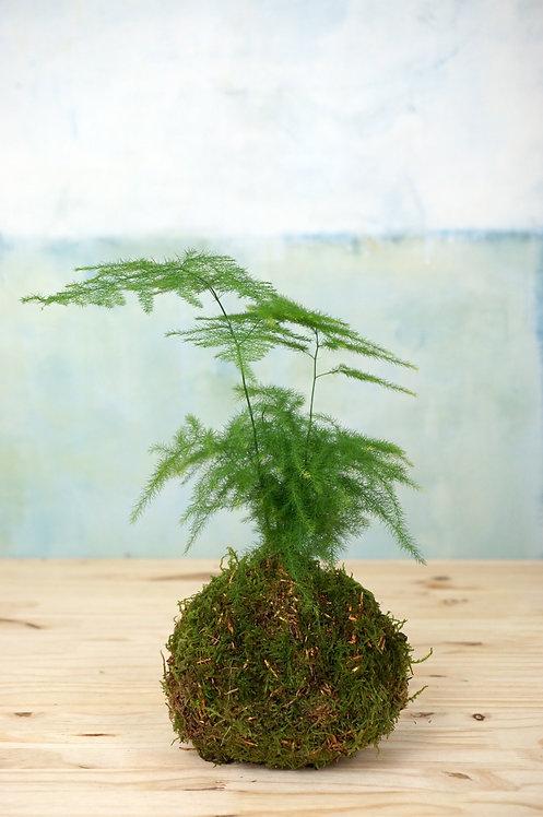 Kokedama Asparagus