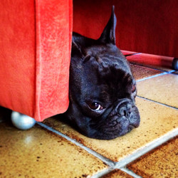 Frenchie Terrier