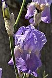Fleur pour Fleurie Vdef.jpg