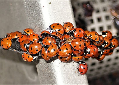 Coccinelles Vdef.jpg