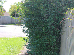 Overgrown Bushes and Hedges