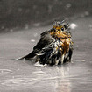 Why birds don't drown