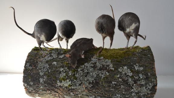 THE RAT BALL