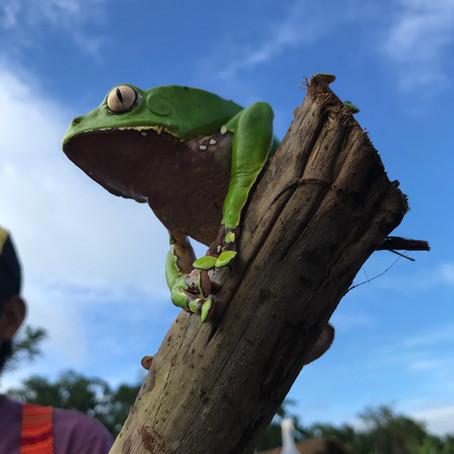 Kambô - Amazonian Frog Poison Medicine