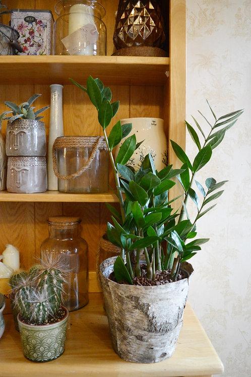 Zamioculcas 95cm ZZ Plant