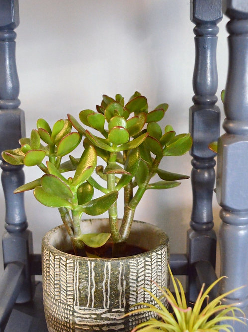 Money Tree Plant in a Pot