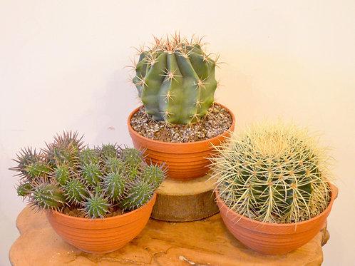Mixed Cacti