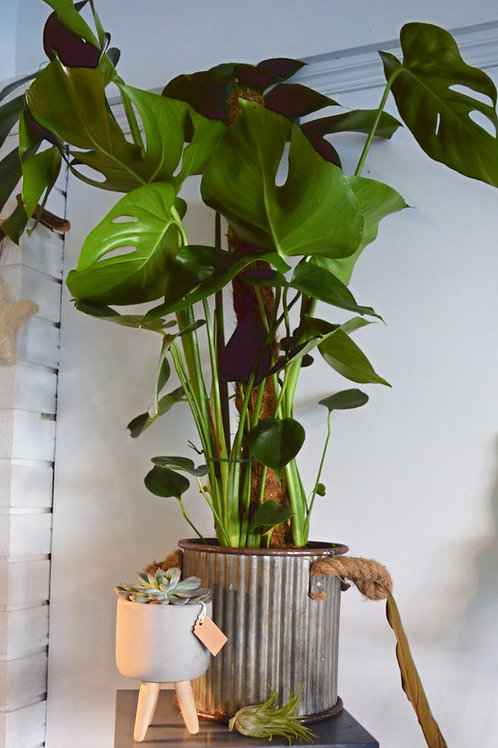 Monstera - Cheese Plant Large