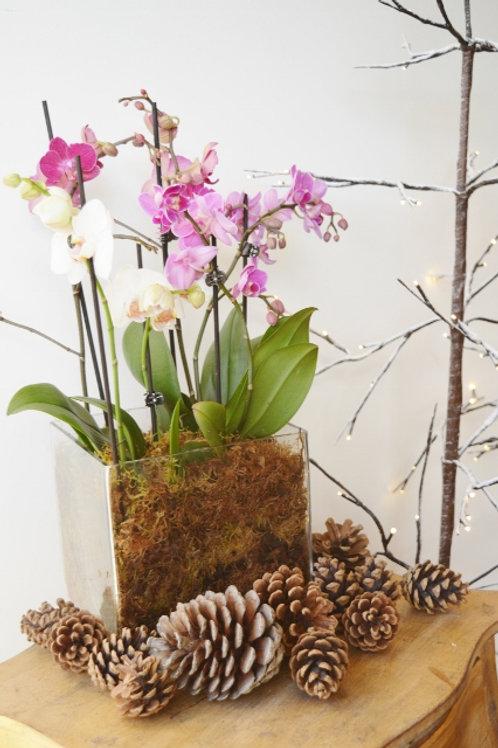 Phalaenopsis Cube