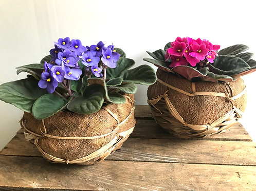African Violet in Coco Basket
