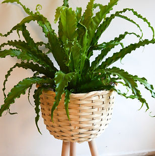 Fern in tripod basket