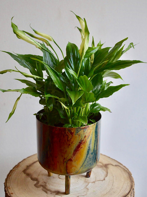 Peace Lily with Choice of Pot