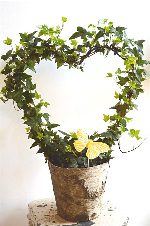 Ivy Heart Plant