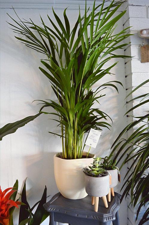 Kentia Palm, 2 Sizes