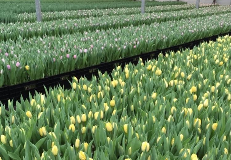Smith & Munson Tulip Farm