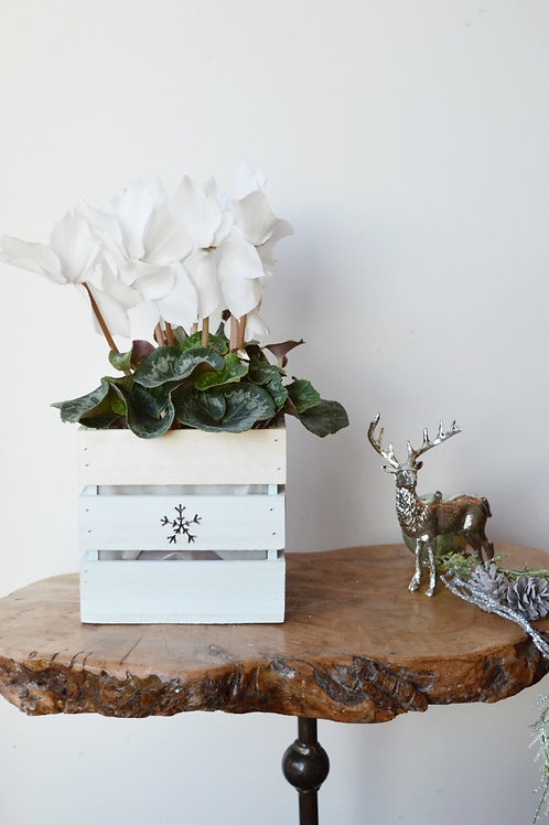 Christmas Cyclamen Crate