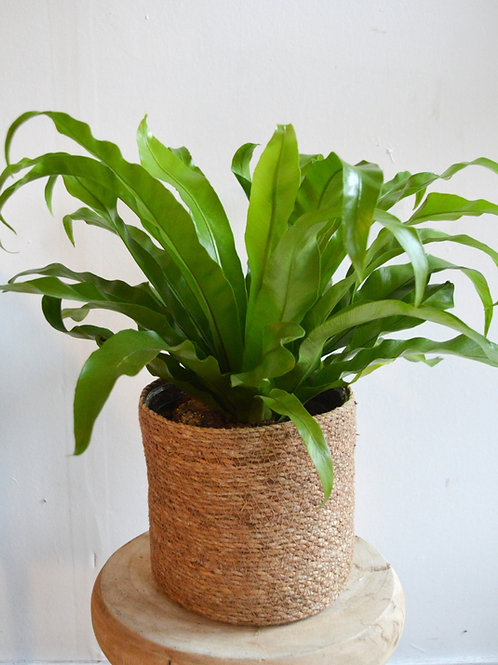 Large Fern in Stylish Pot