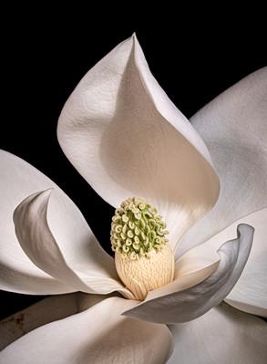 Magnolia 6822