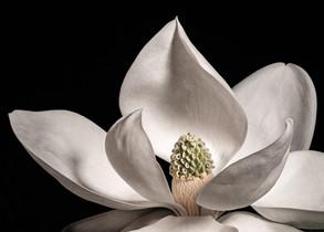 Magnolia 7034