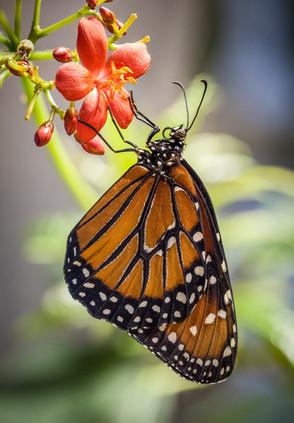 Eastern Monarch