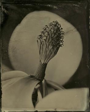 Spent Magnolia