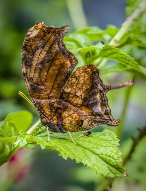 Tiger Leaf Wing