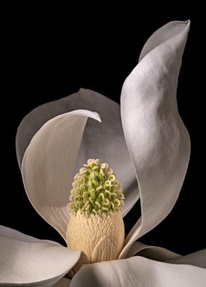 Magnolia 7750